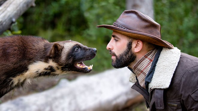 Coyote peterson and a wolverine