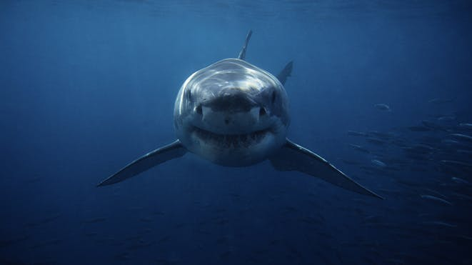 Shark swimming with fish