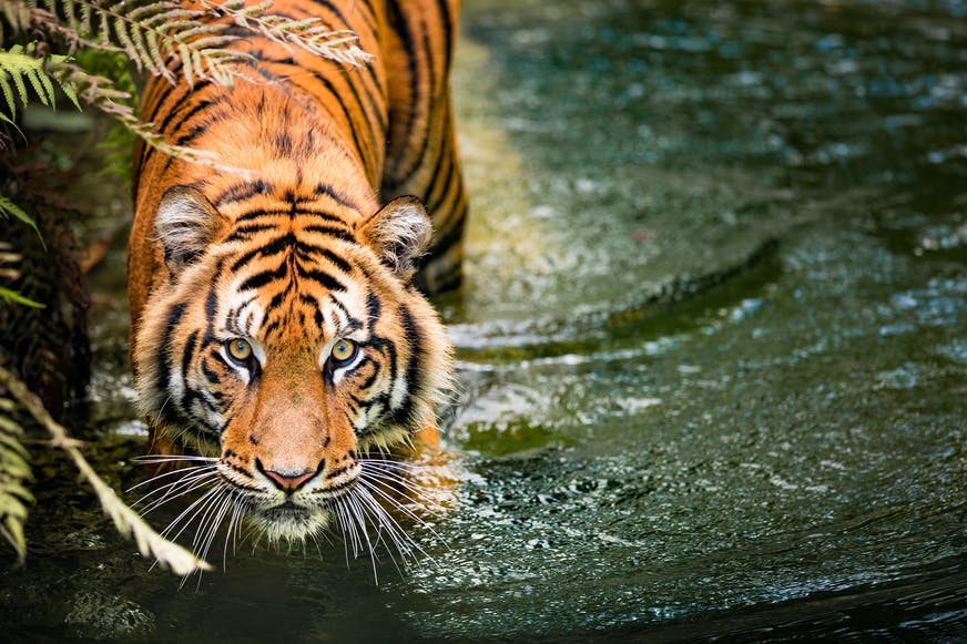 Tiger walking through water